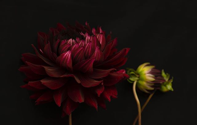 Dahlia.  I don't know why I stopped shooting still life for so long. Just ordered a book on Morandi, one of my favorite still life painters, to get inspiration for this weekend. More to come.  #stilllifephotography #dahlia #flowers