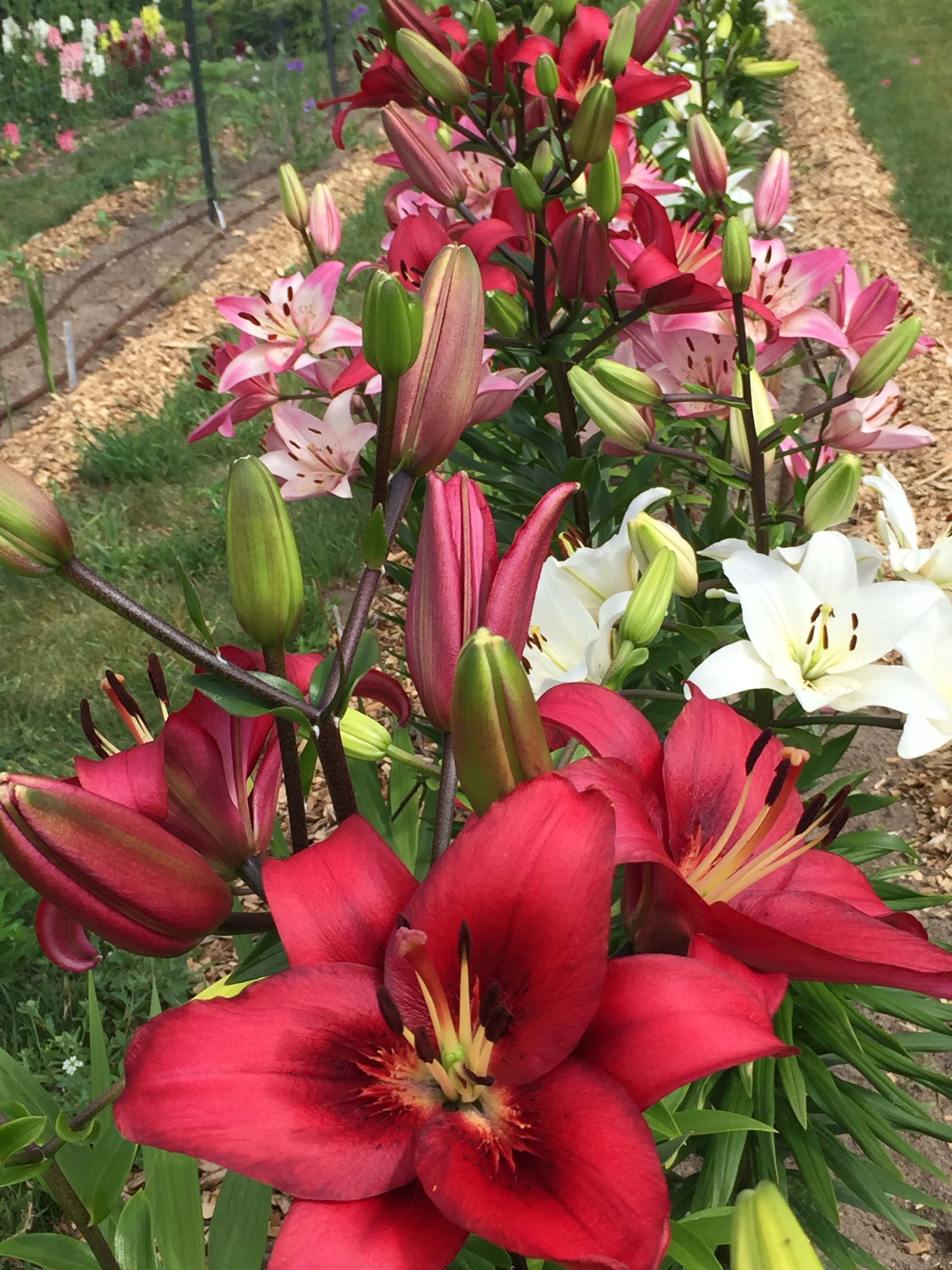 July Lilies