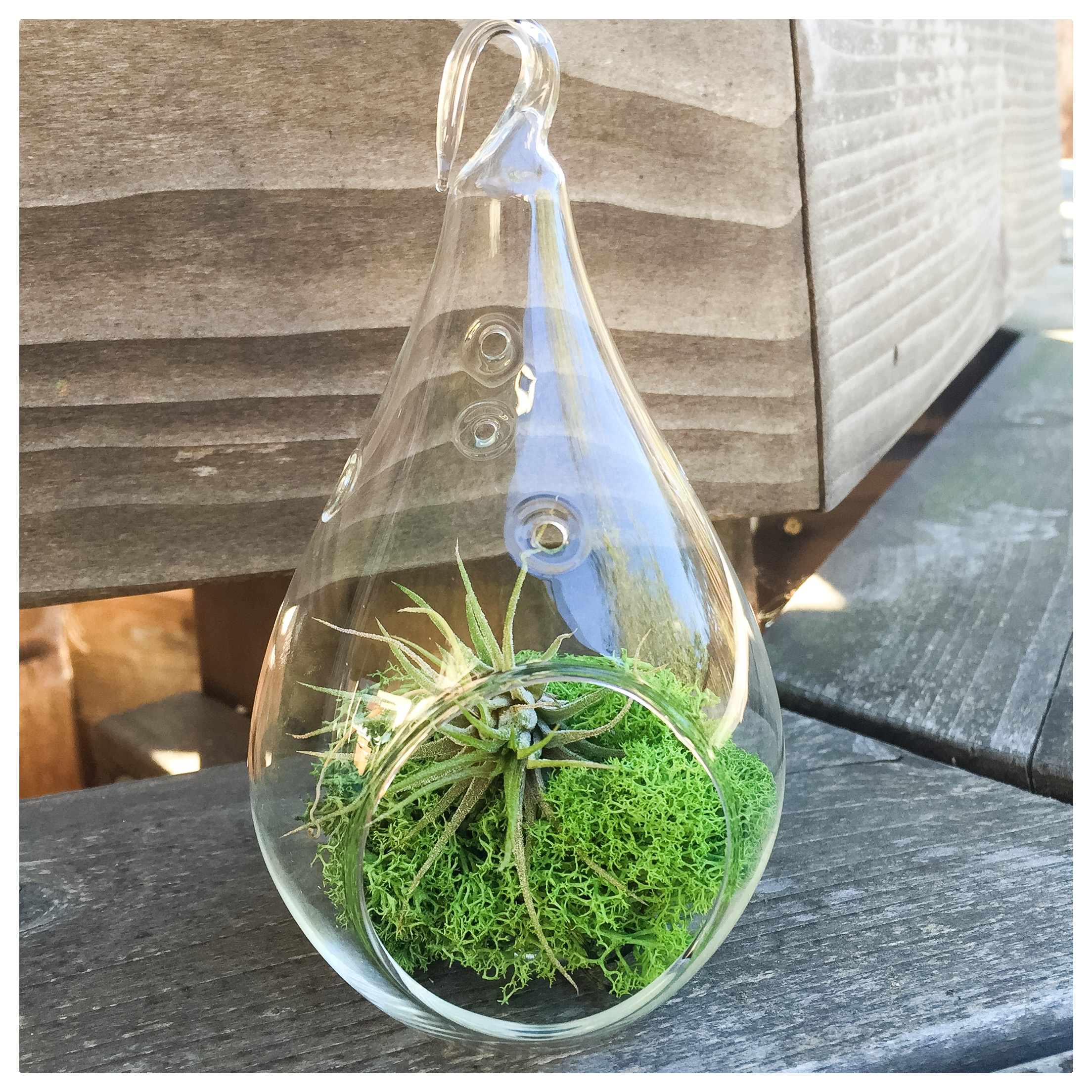 This little terrarium holds a tillandsia nestled on a bed of moss. Affectionally called the air plant, this little habitat will bring some green and life to your home with minimal attention. Instructions for care will be mailed to the winner.
