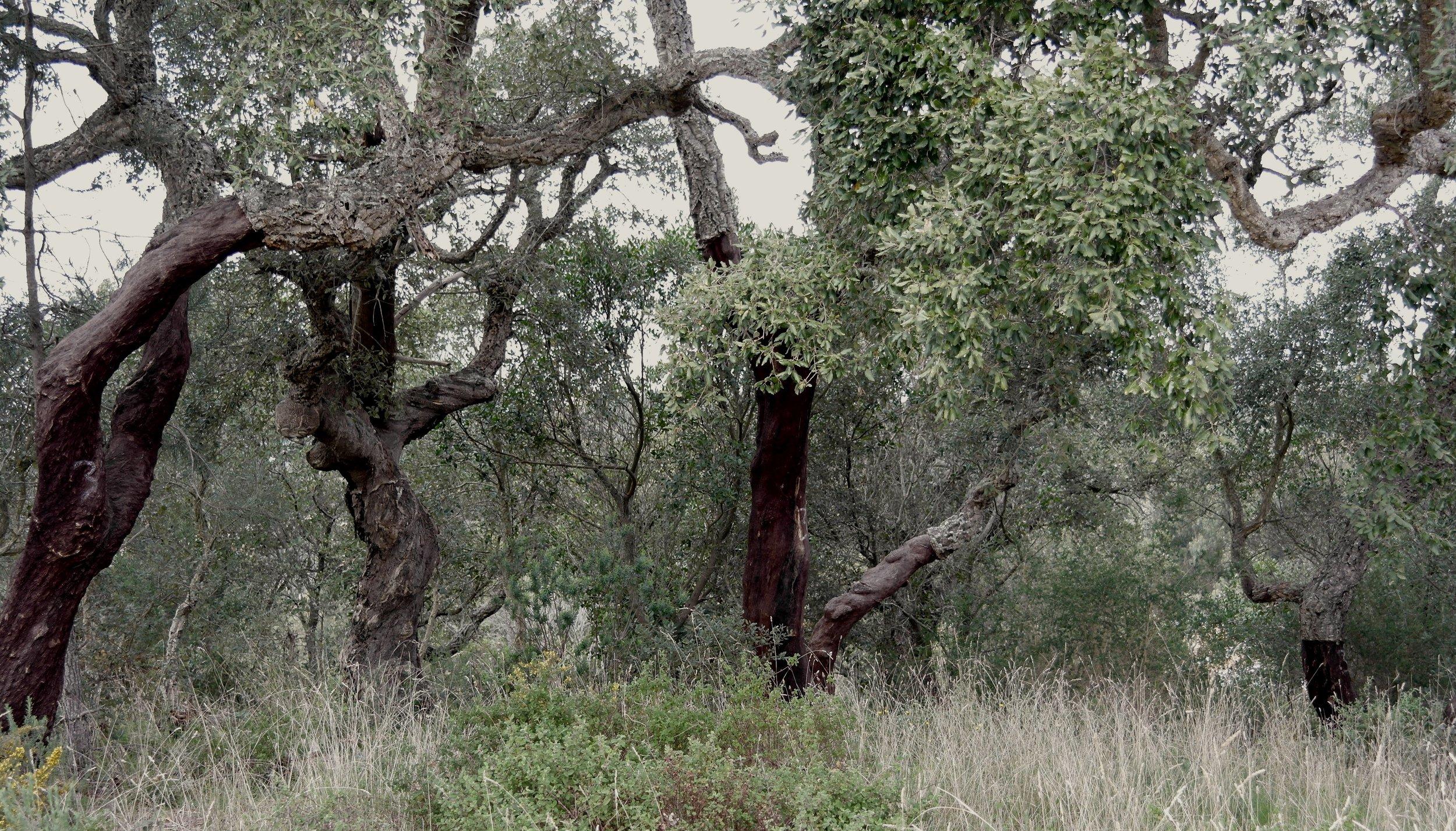 Kork oaks near Aljezur