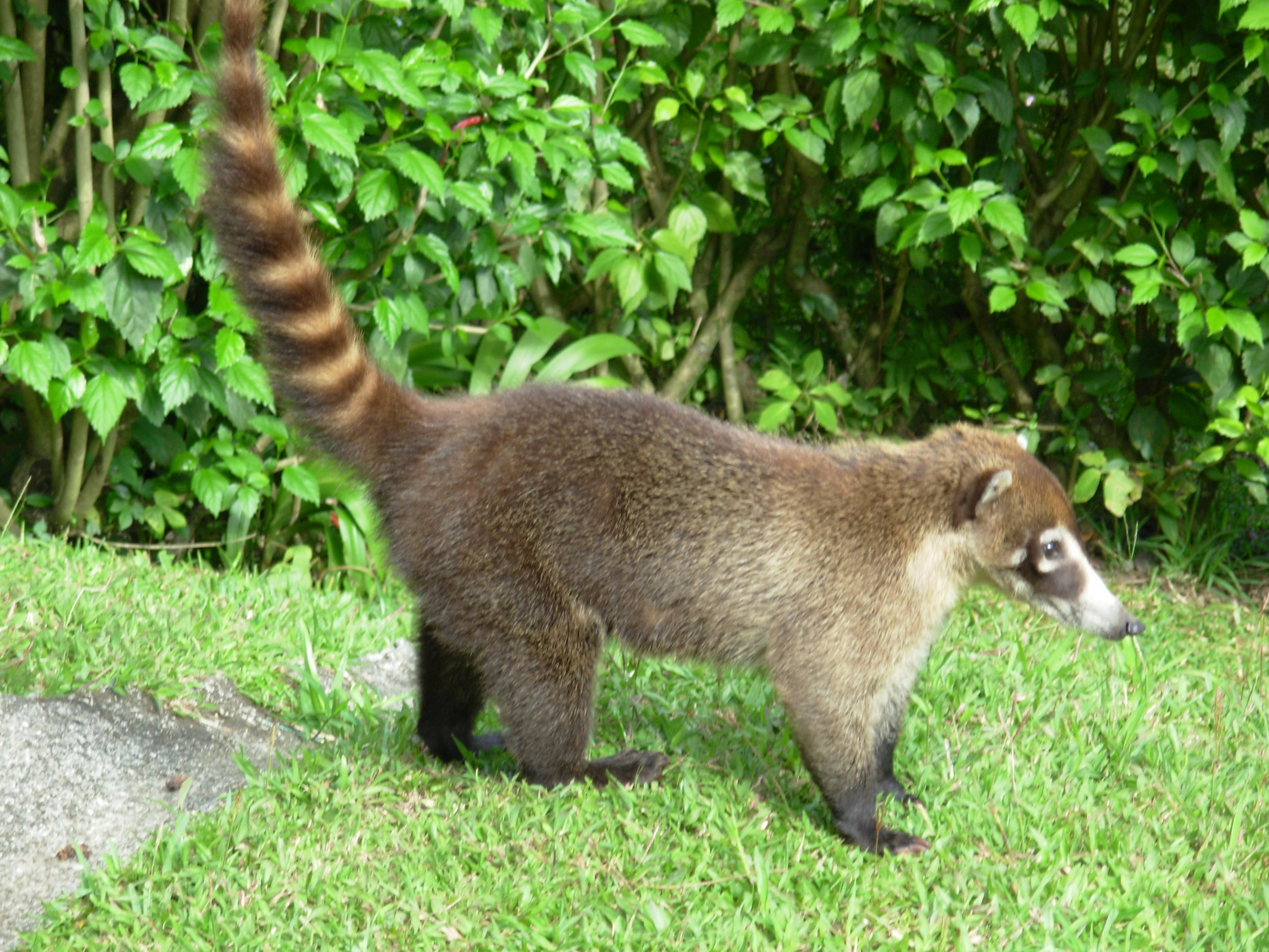 White-nosed Coati at Arenal Observatory Lodge.