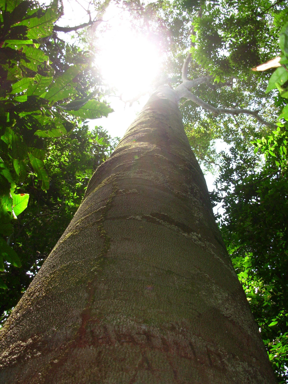 locust tree in MANP