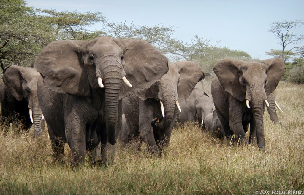 Elephant-Herd-Flickr-Michael-R-Reilly-all-rights-reserved-1365124958_23b4c7680c_b.jpg