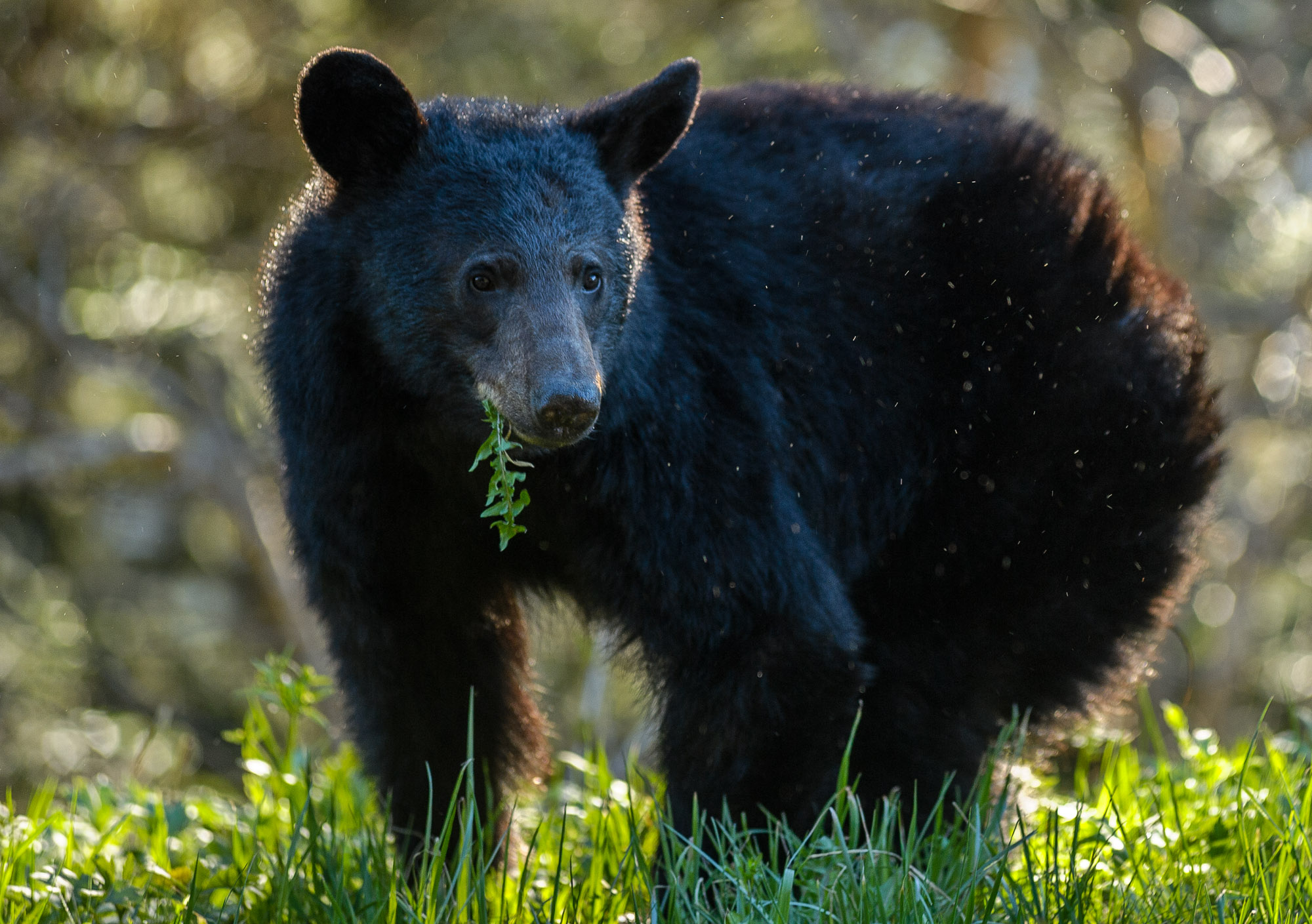 If you  want  to find a black bear, try Great Smoky Mountains National Park. It has more of them per square mile than any other place in the U.S. Nikon D3S,  Nikon 80-200mm f/2.8  lens at 200mm. Photo © 2013 Chris Nicholson. (He doesn't have any night photos of light-painted bears. I can't understand why.)