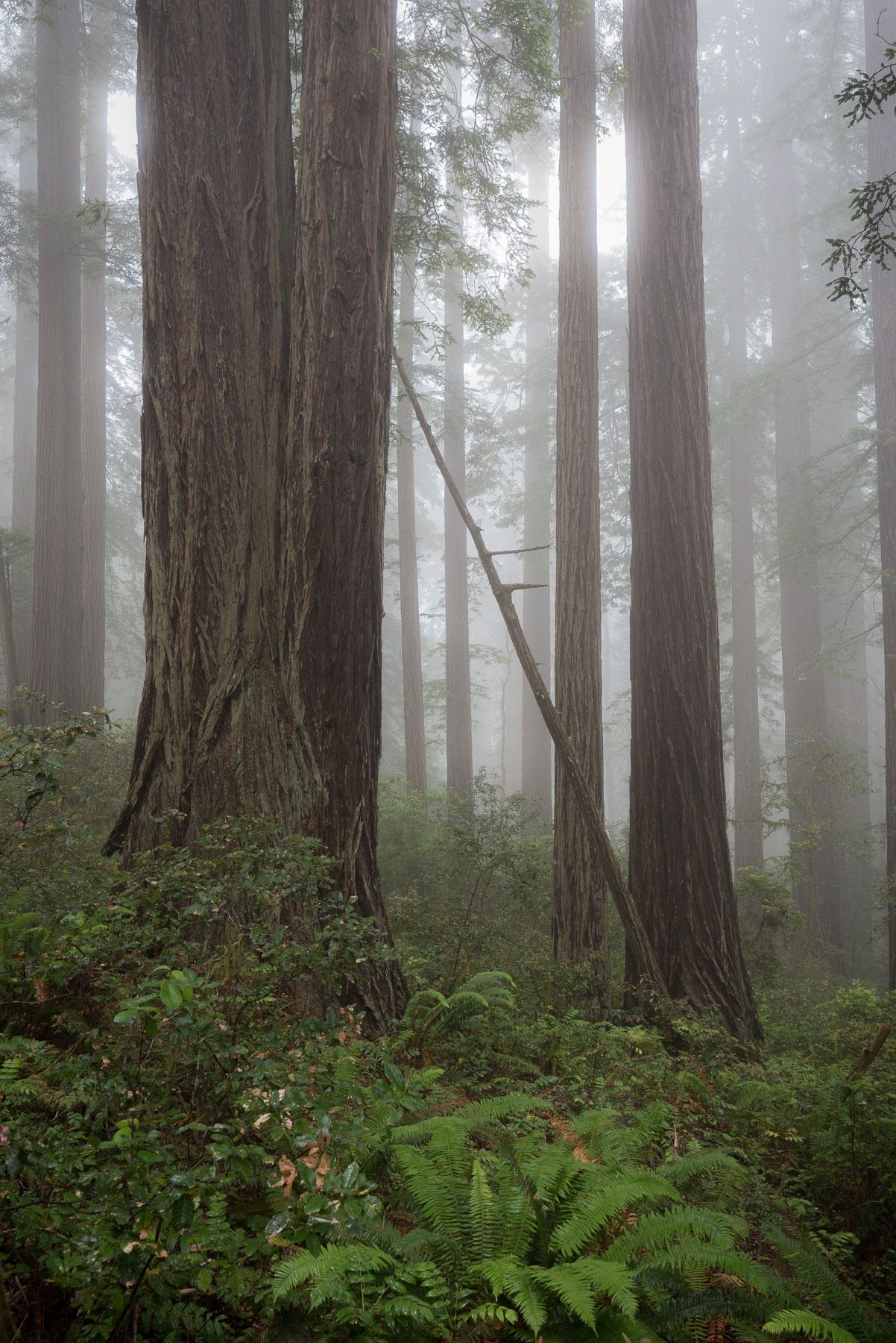 Fog-shrouded coastal redwoods in the Lady Bird Johnson grove. © 2017 Lance Keimig.