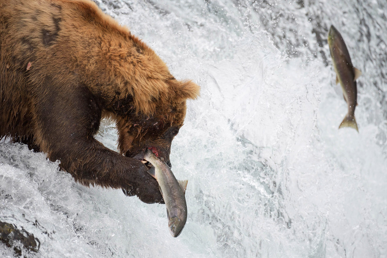 Brown bears are the most famous attraction of Katmai. NPS photo by R. Taylor.