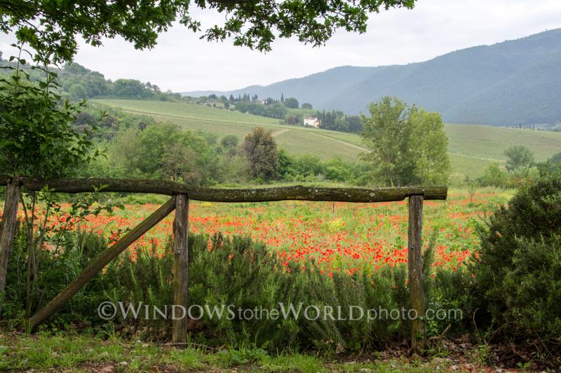 Poppies, Tuscany