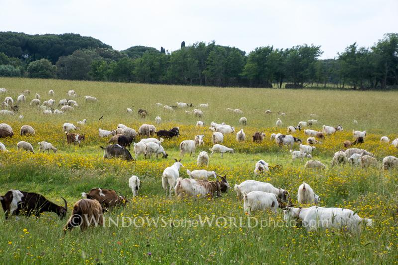 Field of Goats, Appian Way, Roma