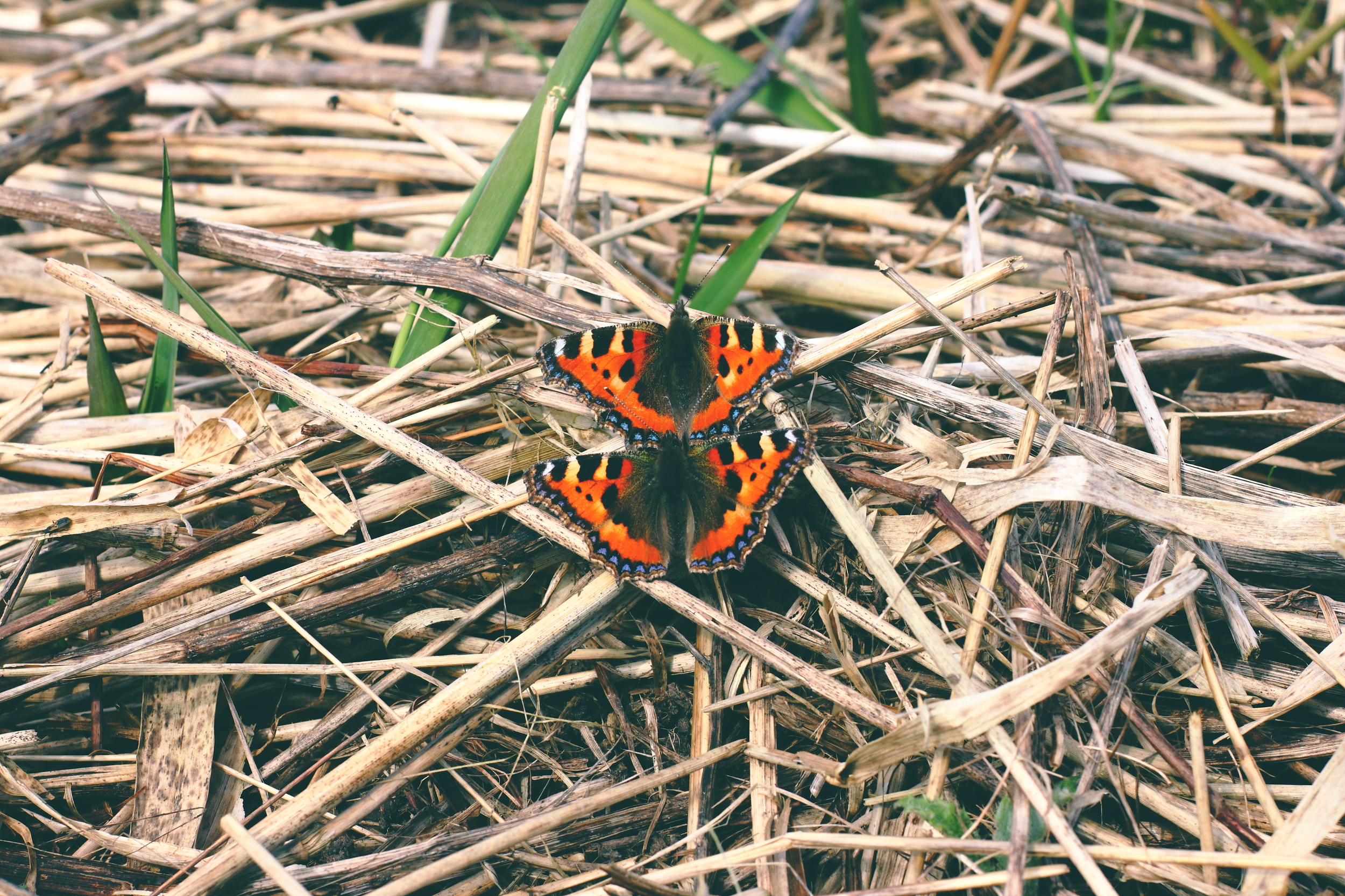 Small tortoiseshell butterflies (in love) (photo by James Burt)
