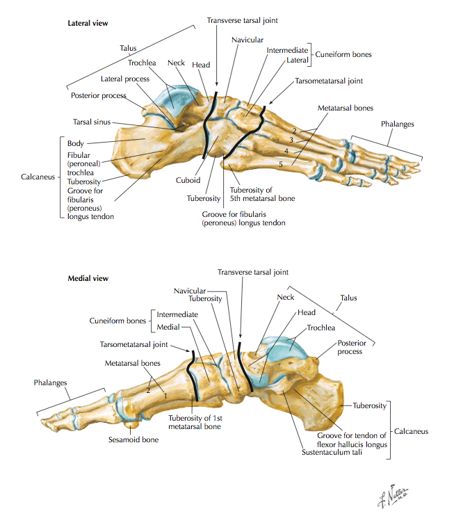 Bones of the foot (Cleland, 2005, p. 337-338).