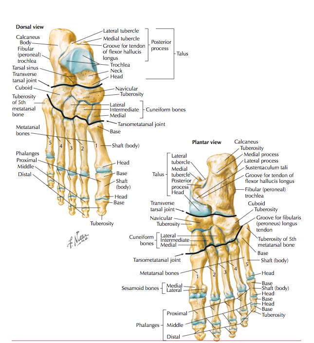 With so many bones making up the brilliant and complex nature of the foot, its very hard to pinpoint one structure based on location of pain.