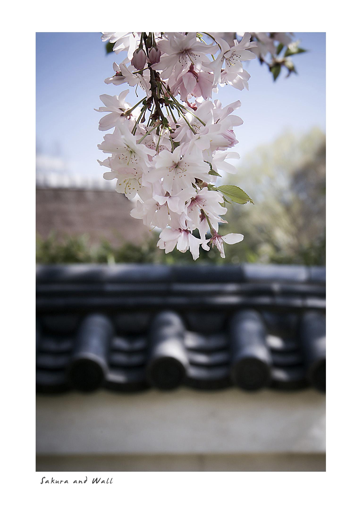 Sakura and Wall