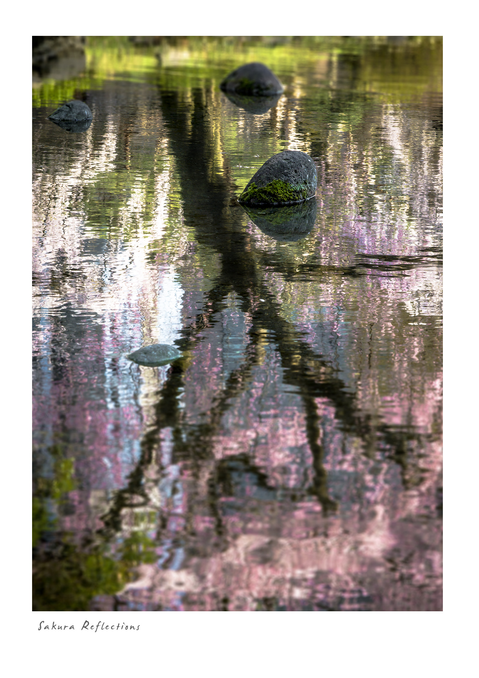 Sakura Reflections
