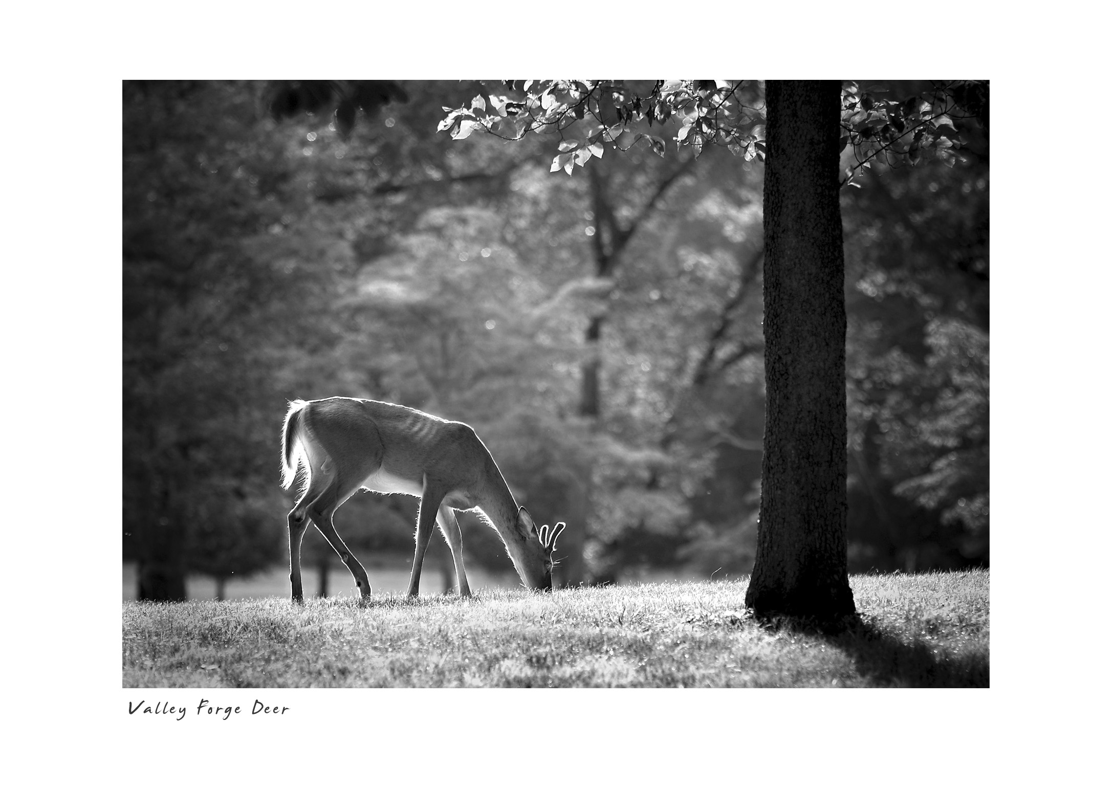 Valley Forge Deer