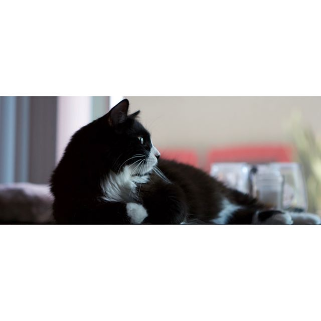"'The Whole Kitten-Ka-Boodle' : #Photography #Animals #Caturday #Canon #HadTo • Have Been Fortunate To Work From Home The Last Week But Have Also Been Having Time With These Photogenic Dudes. Decided To Dust Off The #Canon60D For These. Gave An Familiar But ""Digital Vintage"" Look Which Im Diggin 🙌🏼 POLLUX Is The Tuxedo ~ 1 yr & CASTOR Is The Blue Russian ~ 5 Months"
