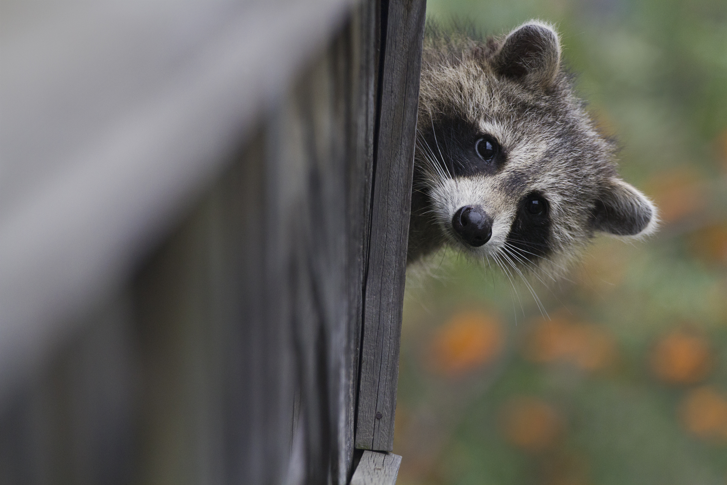 Raccoon on the porch, Toronto, Canada