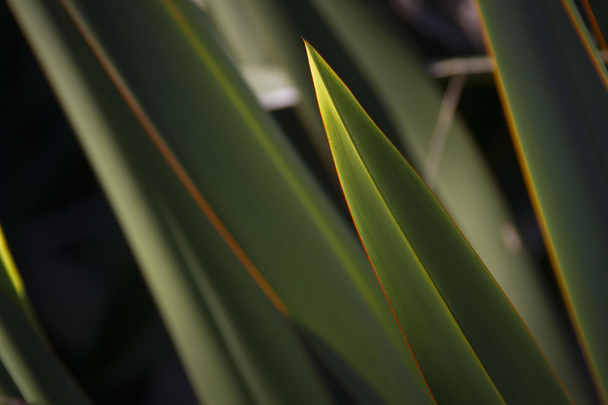 Flax, Tiritiri Matangi Island, New Zealand