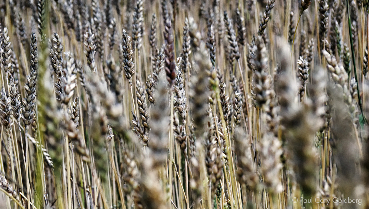 Index_Wheat.jpg