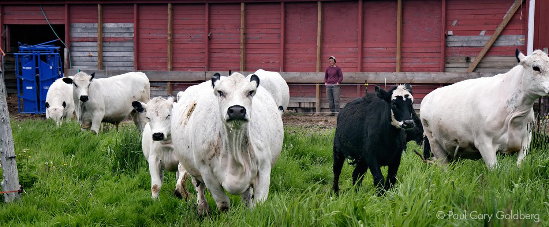 Beef-BarnPasture.jpg