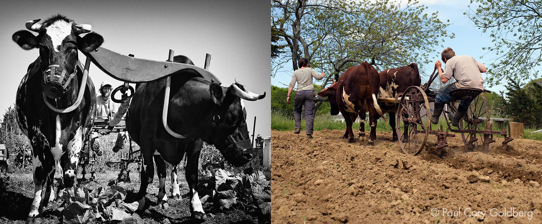 Oxen_MixedPair2.jpg