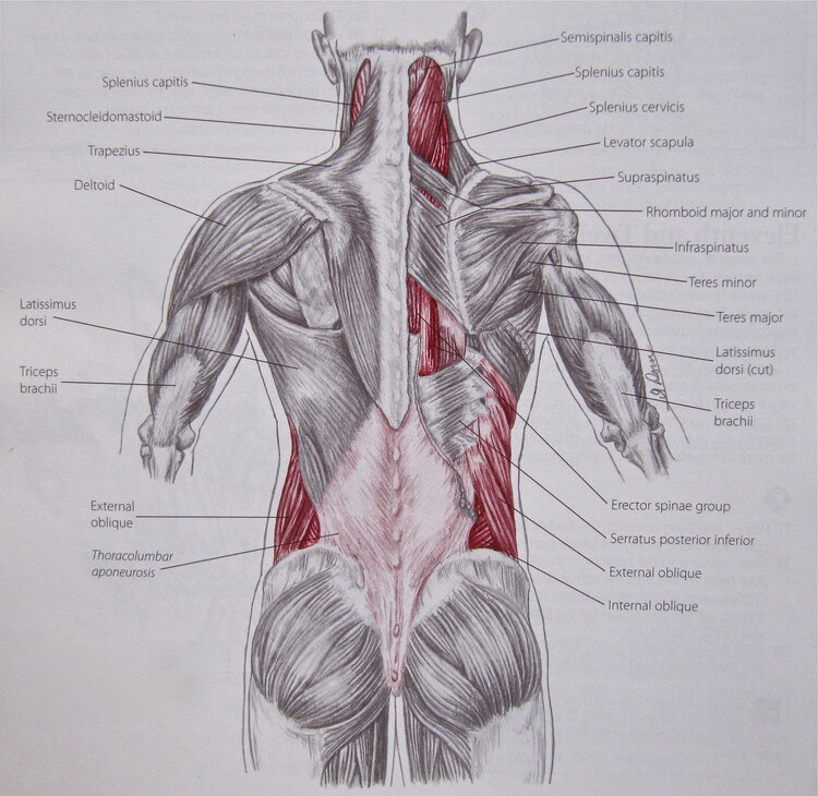 Many muscles run through and feed into the thoracolumbar fascia.