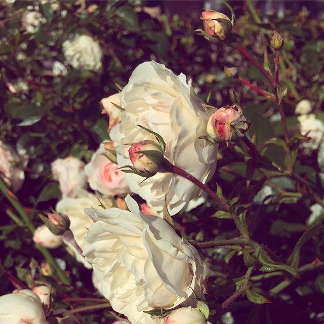 Hopeful little blooms 🌹#springtime #goodmorning 😊