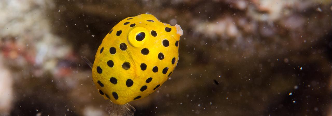 A juvenile box fish. Image courtesy of Emma Birdsey.
