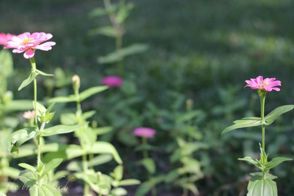 potager | zinnias | thebrownshed.com