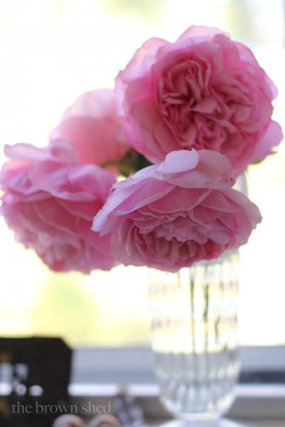 Pioneer Spirit rose | thebrownshed.com