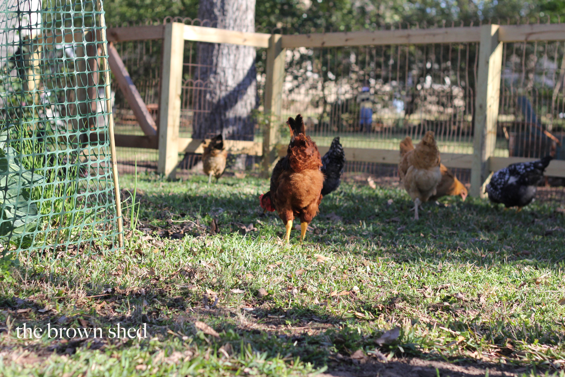 chickens in the garden | thebrownshed.com