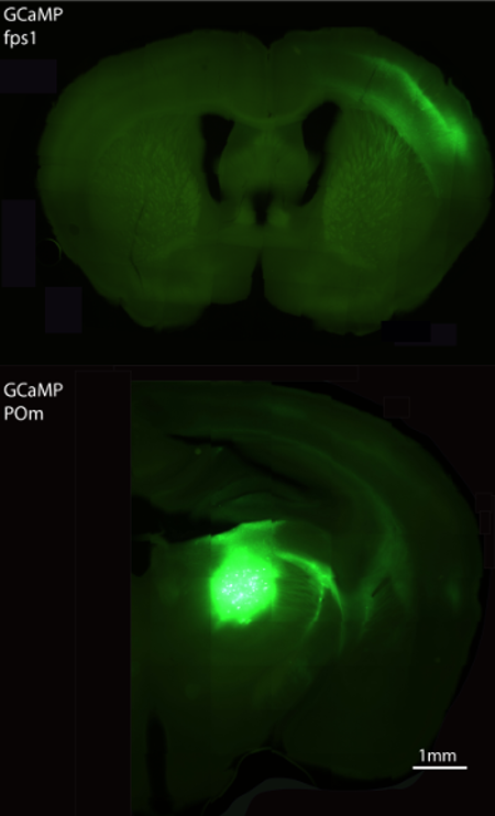 GCaMP expression in POm and fpS1 2 crop.png