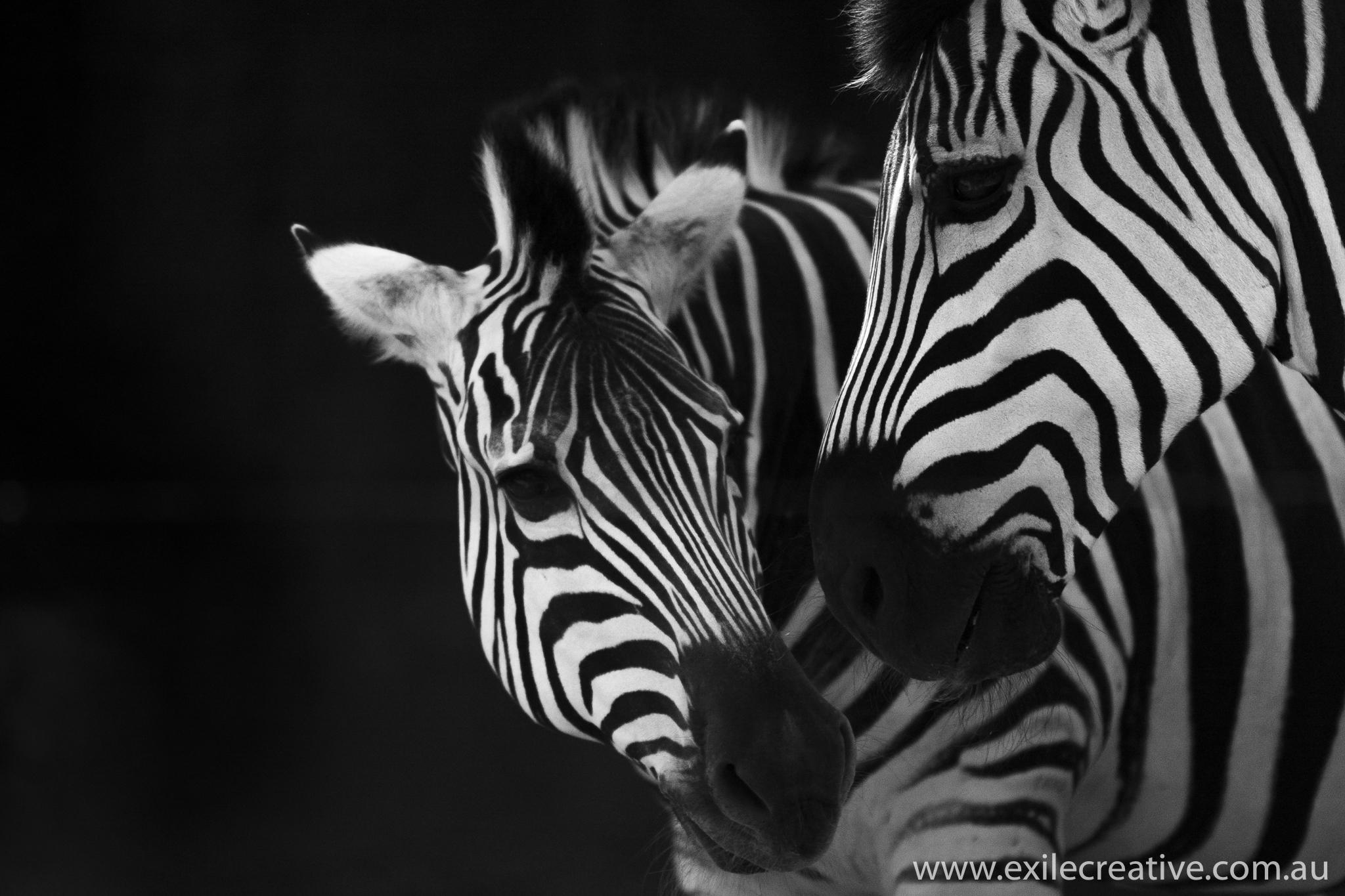 Zebras at Tarongo Zoo