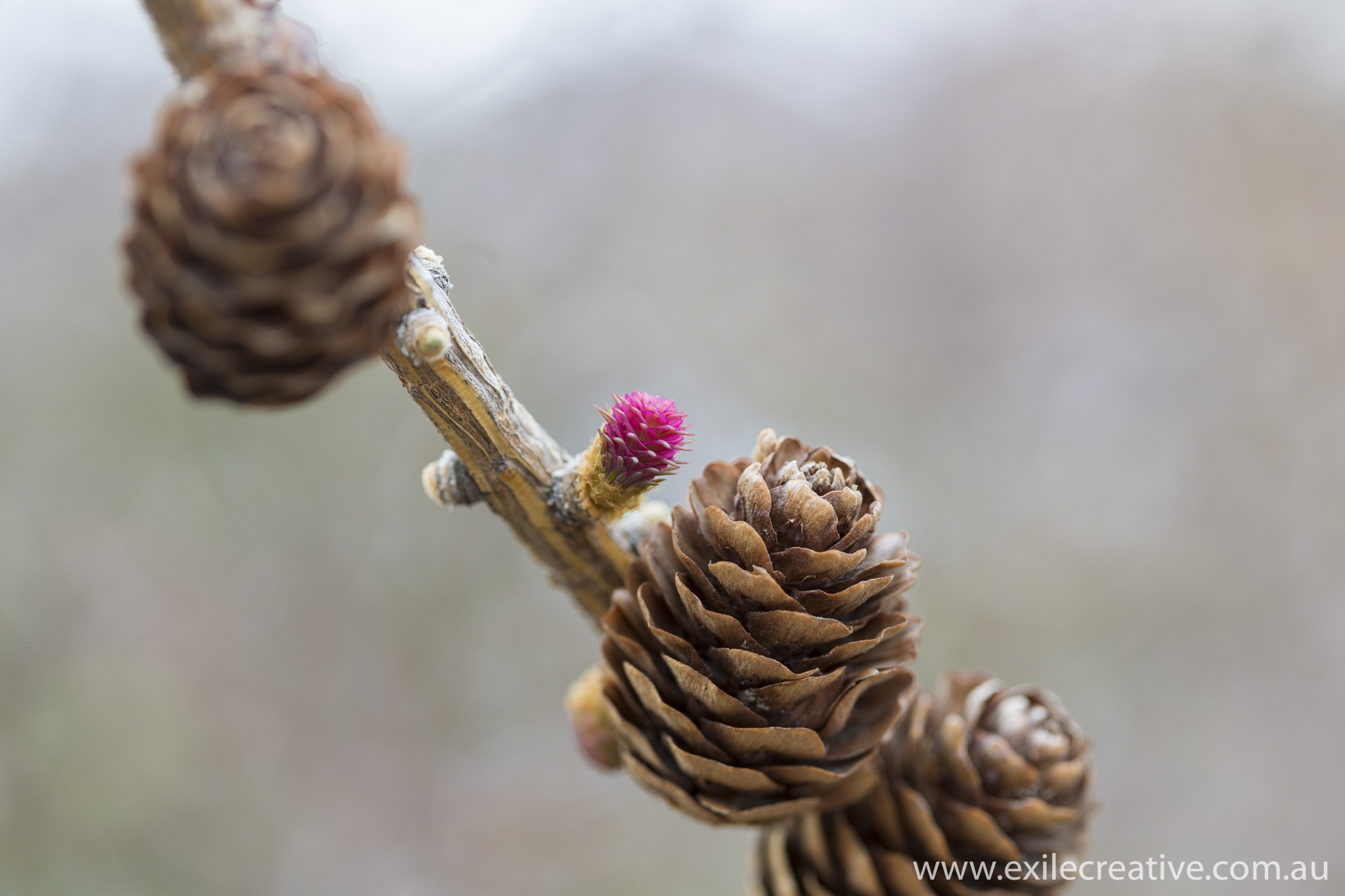 Pine cones and buds...colour contrast had me mesmerised!  Canon 5Dmiii, 100mm Macro @ 100mm, ISO400, f/4, 1/250