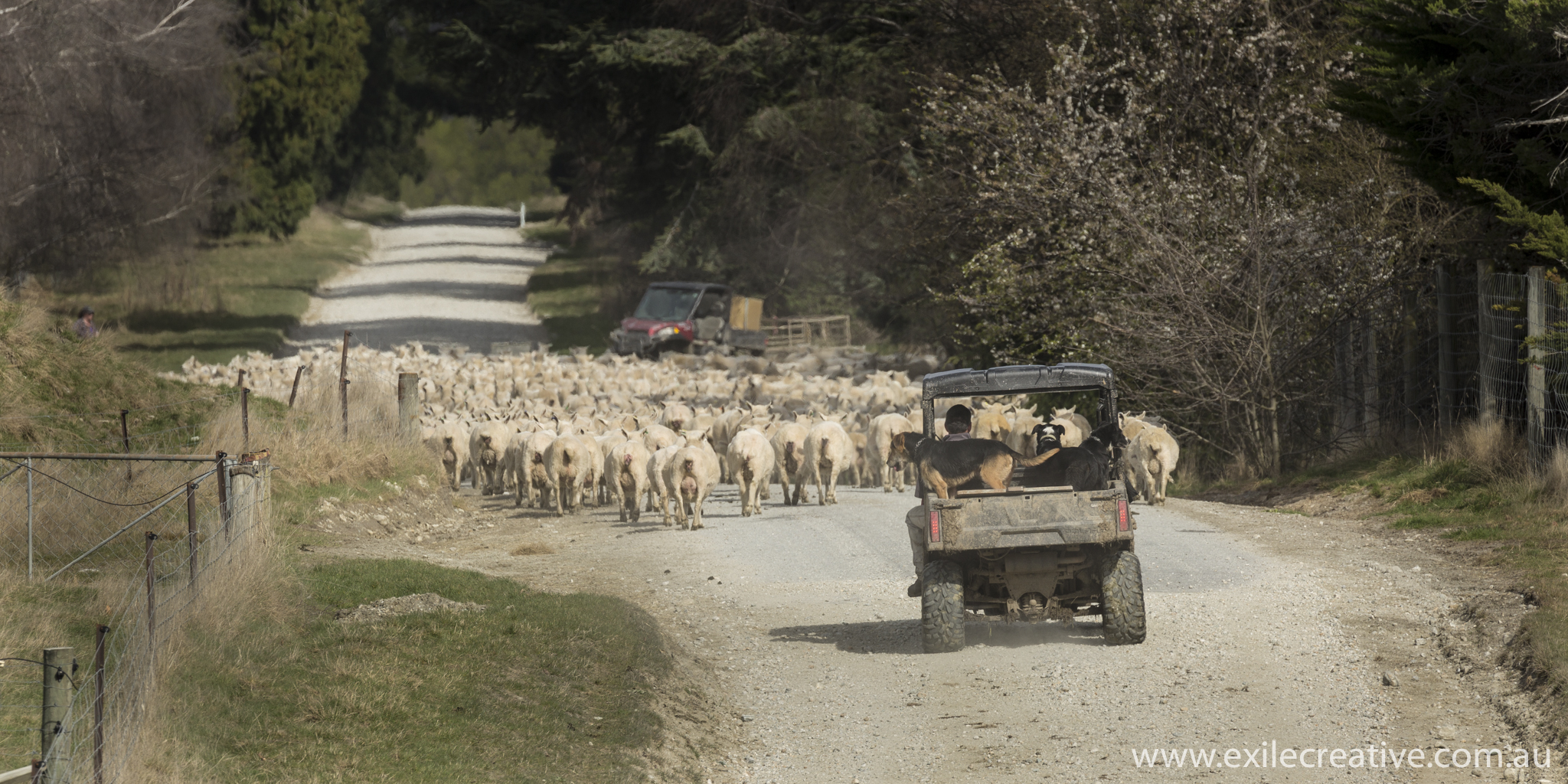 Rush hour on the Glenorchy-Paradise Rd.  Canon 5Dmiii, 100-400L IS ii @ 400mm, ISO200, f/9, 1/400s