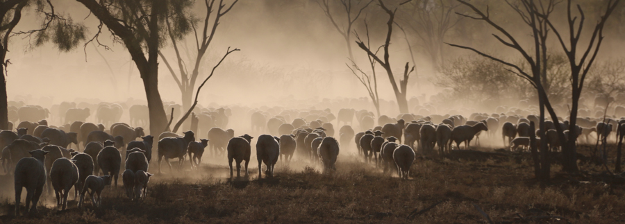 Sheep Herding at Trinidad Station by Wendy Sheehan