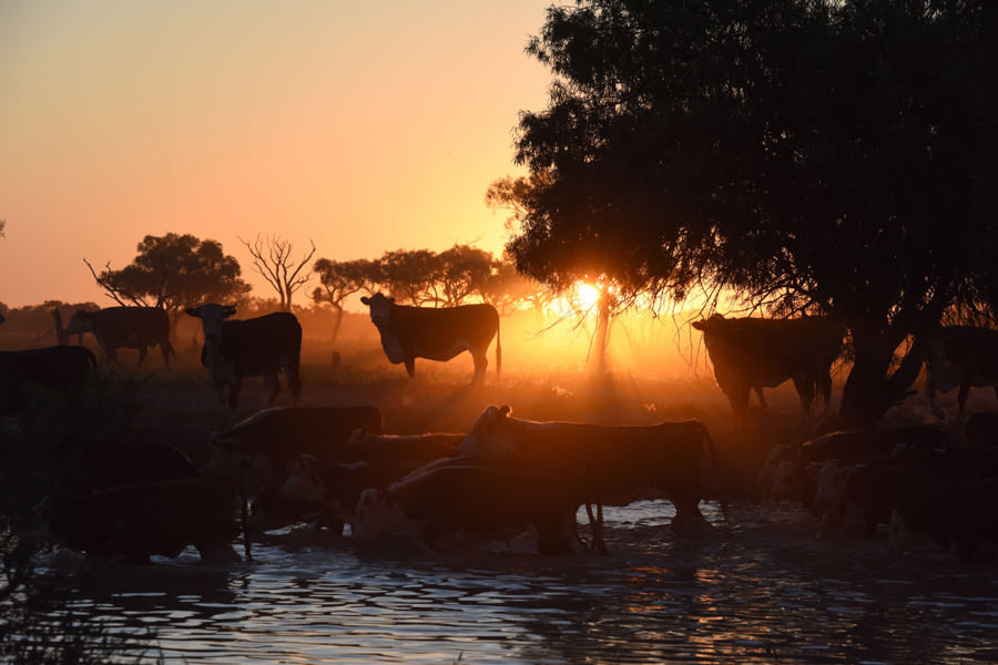 Sunset cows by Anne-Maree Lloyd