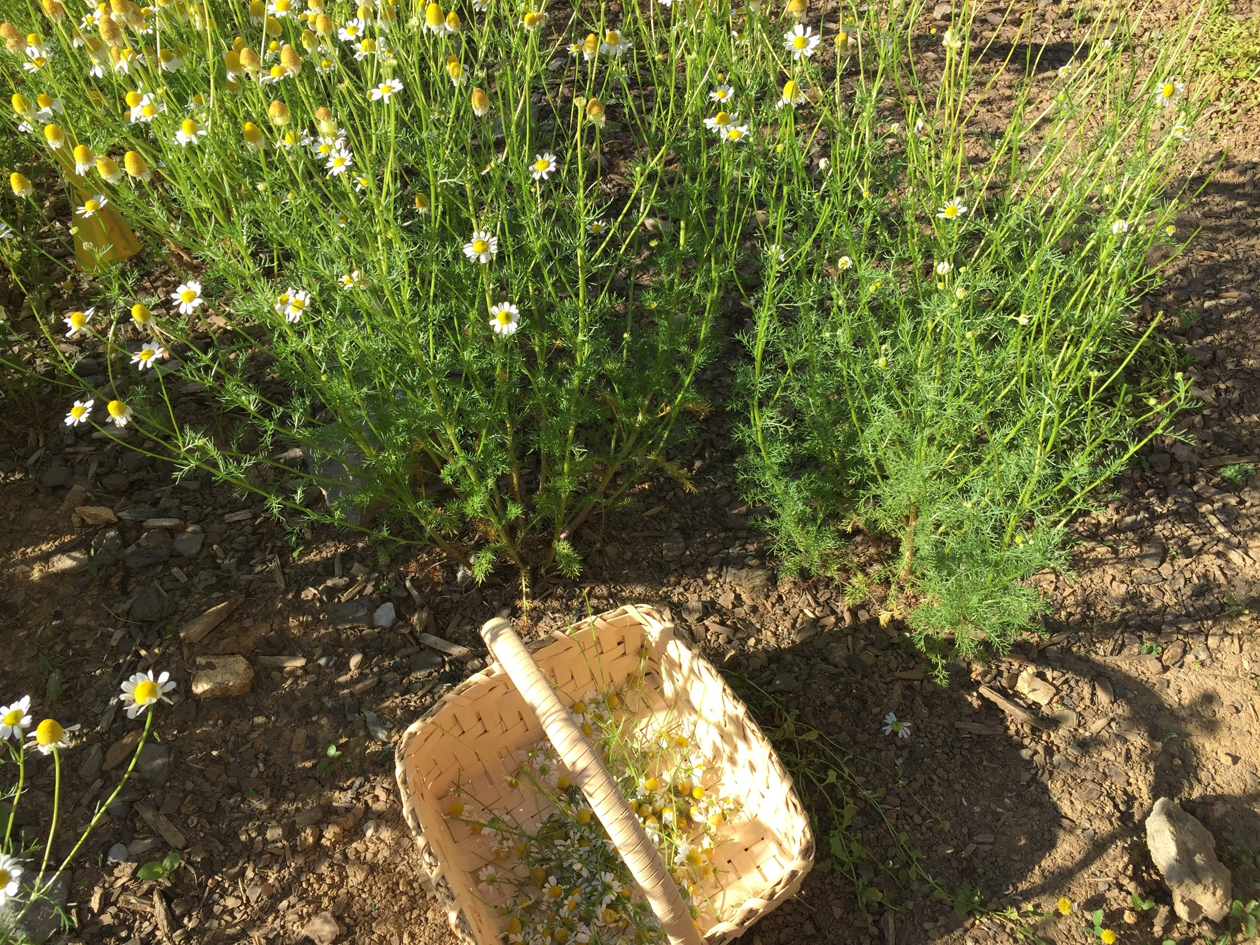 Chamomile likes to grow in full sun