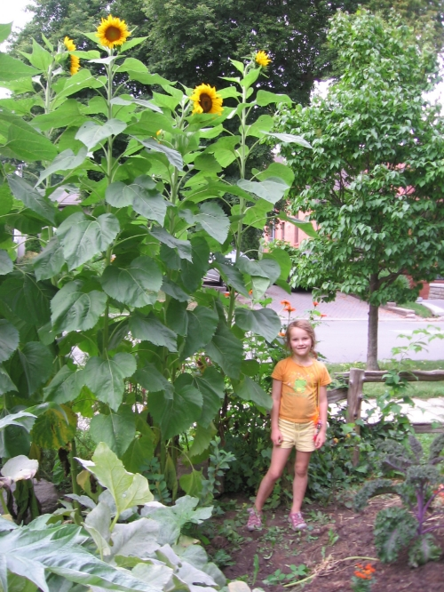 Giant sunflowers!