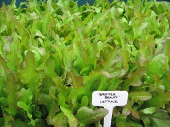 Bronze Beauty lettuce