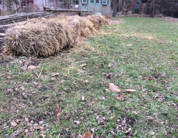 Under the straw bales: Step-Over figs that are tucked in for the winter.