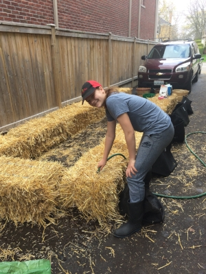 Wetting the straw bales to start decomposition.