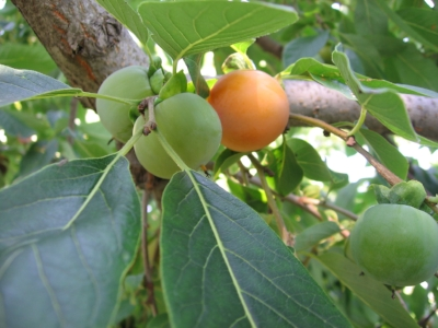 In the shadow of an American persimmon tree in Toronto, I learn lots about native fruit and nuts from Tom Atkinson