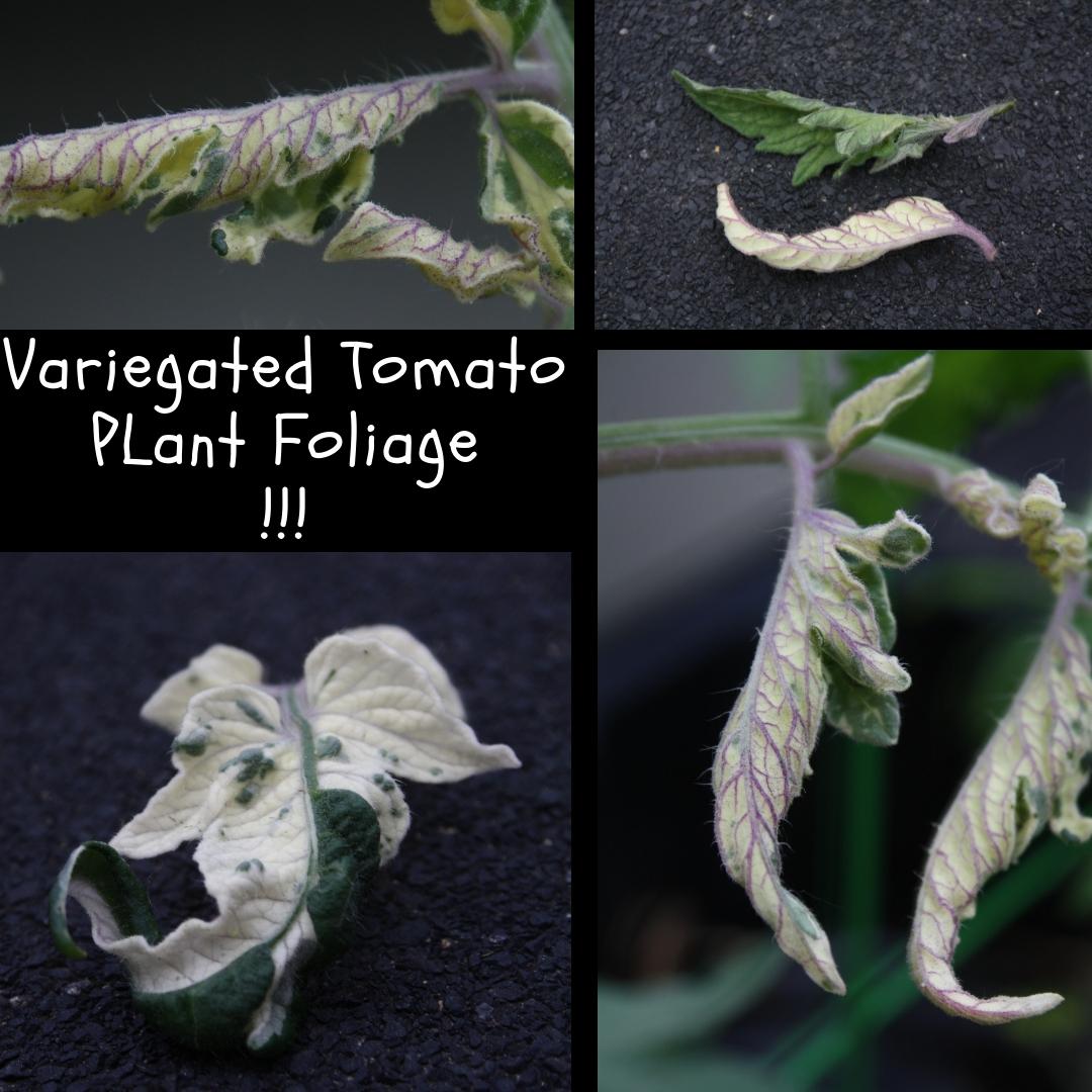 variegated tomato.jpg