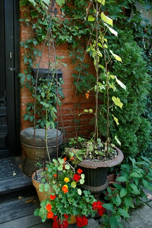 Signe's cherry tomatoes in pots