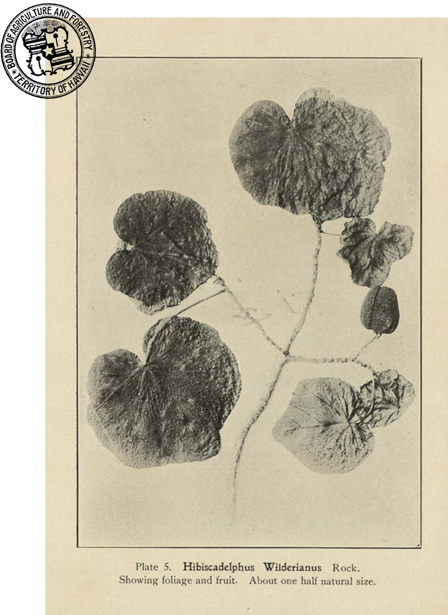 Plate from New and Noteworthy Hawaiian Plants (1911)