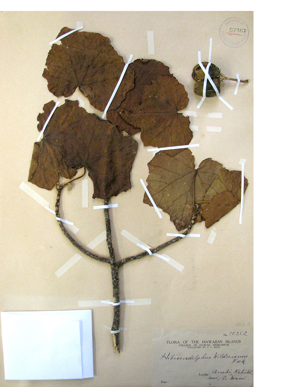 Hibiscadelphus Wilderianus  sample from the Bishop Museum (1913)