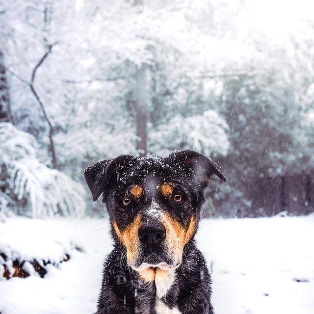 Missing the snow ❄️ Is it snowing where you are? . . . #huffpostgram #dailybarker #optoutside  #instagrambham #exklusive_shot #snowday #ruffpost #weeklyfluff #thisisalabama #letitsnow #lifeofadventure #mydogiscutest #sendadogphoto #worldofcutepets #nikonnofilter #dogscorner #buzzfeedanimals #excellent_dogs #bestwoof #nikonlove #topdogphoto #gallery_legit #gramoftheday #vol #aov #visualshotz #ynotoutdoors #thegreatoutdogs #mysouthernliving