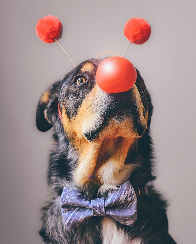 Happy Red Nose Day from the badger! 🔴 @rednosedayusa #rednoseday #endchildpoverty #instagrambham #bestwoof #weeklyfluff #dogportrait #dogsofbham