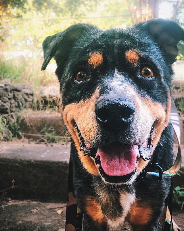 happy ringo 💜😍 . #thegoodestboy #tuesdaymood #bestwoof #instagrambham #dogsofbham #weeklyfluff #doggosdoingthings #shotoniphone