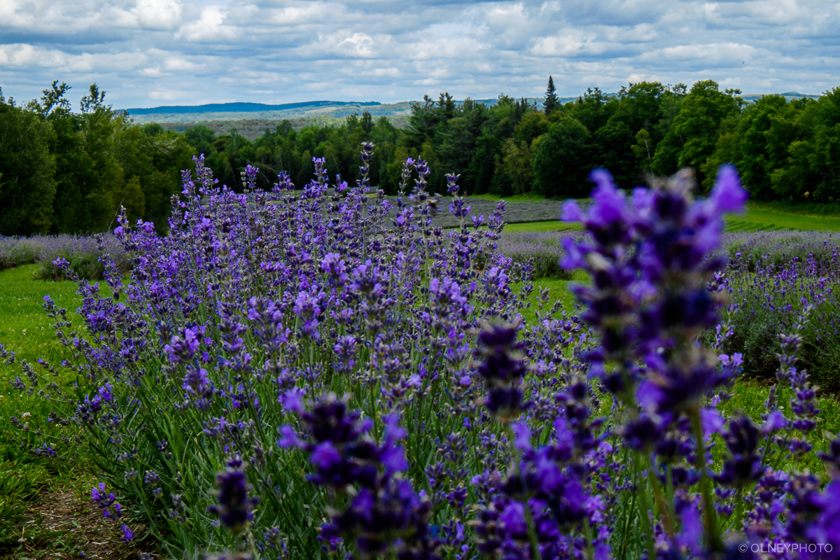 Lavander in Fitch Bay OLNEY Photographe Sherbrooke